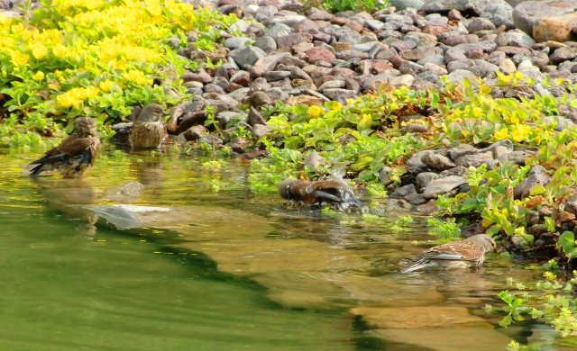 Bluthänflinge am Teich, klares Teichwasser, Teichreinigen ohne Chemie